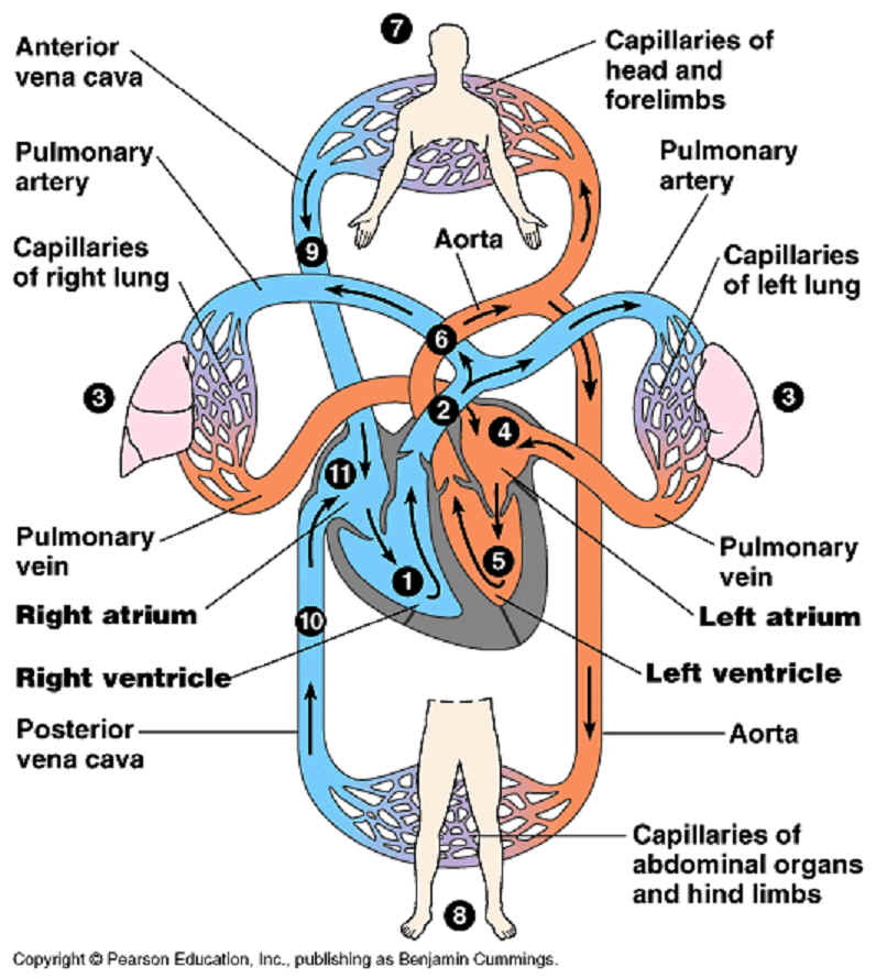 Science: CIRCULATORY SYSTEM