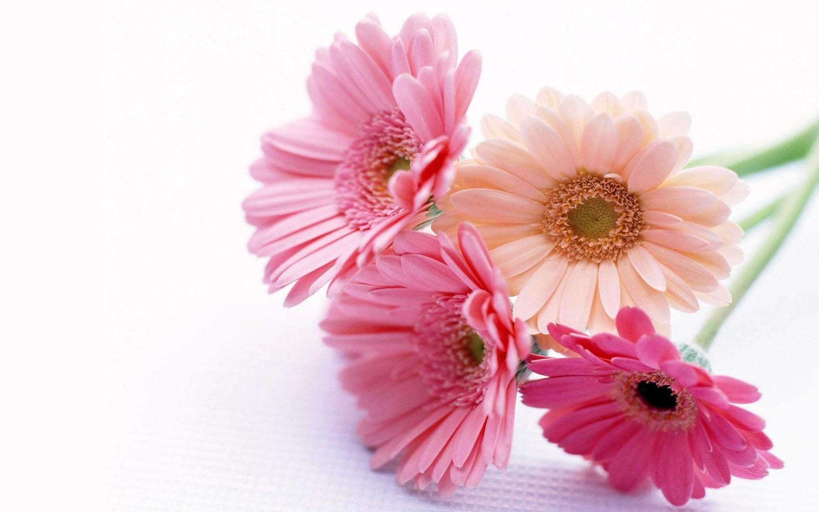 Gerbera Flowers Wallpapers