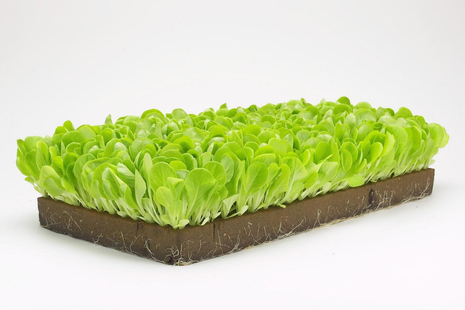 Hydroponic Lettuce Production in Phenolic Foam | Hort Americas