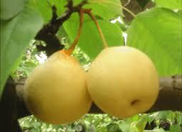 manfat buah pir untuk ibu hamil