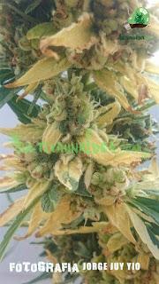 variegación floración