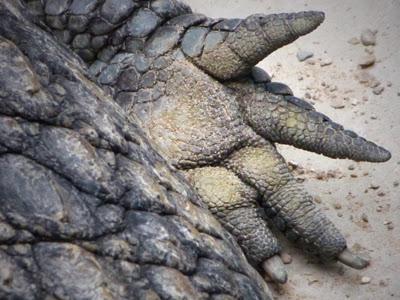 Krokodil Klaue Innenseite