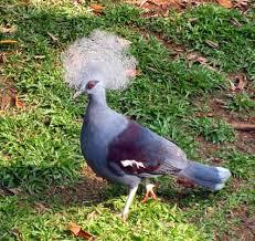 Kita Dan Informasi Baru Burung Dara Mahkota Si Cantik Bermahkota