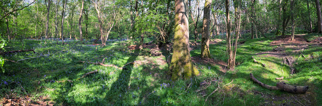 Huge badger set in Waresley & Gransden Woods in this springtime panorama
