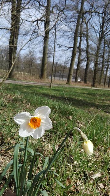 Narcis op een grasveld met bomenrij op de achtergrond.