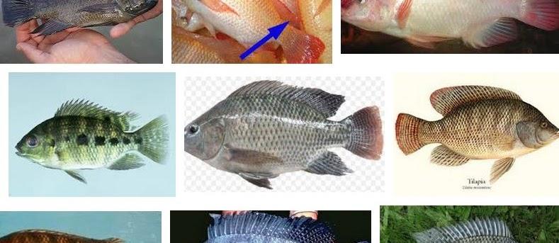 Jenis Ikan Nila Paling Unggul? Lihat Gambarnya Berikut Ini