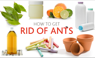 how do get rid of ants in the kitchen