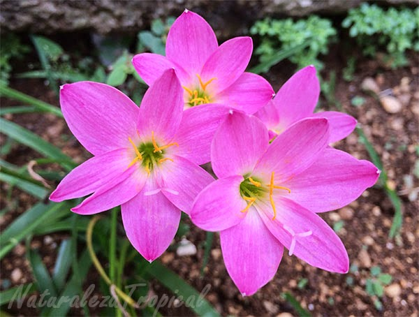 Flor brujita rosada, nombre popular de Zephyranthes rosea