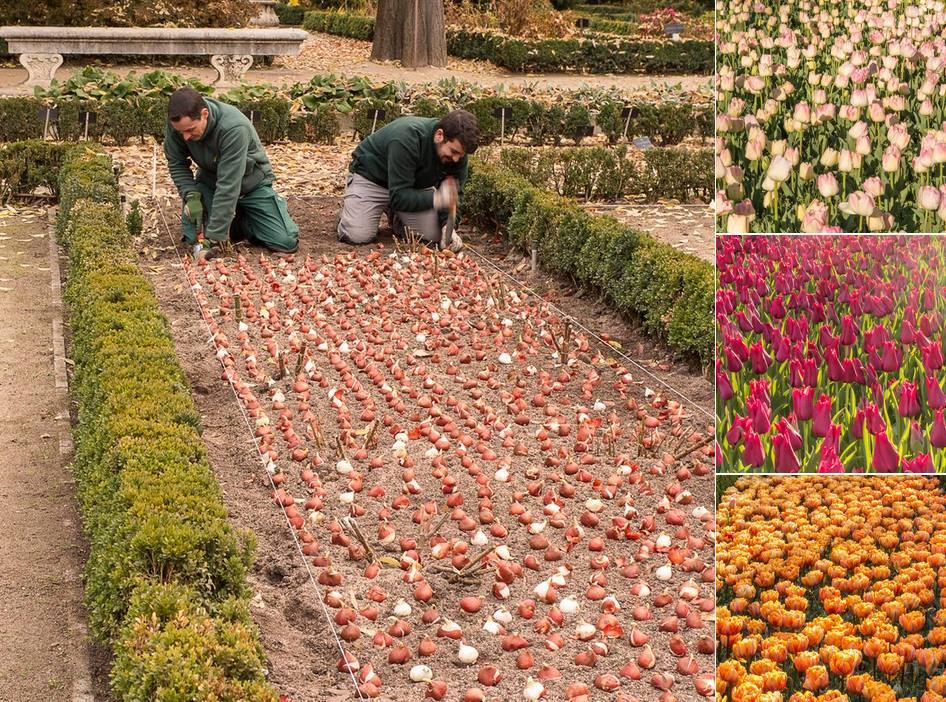 Plantando bulbos de tulipán