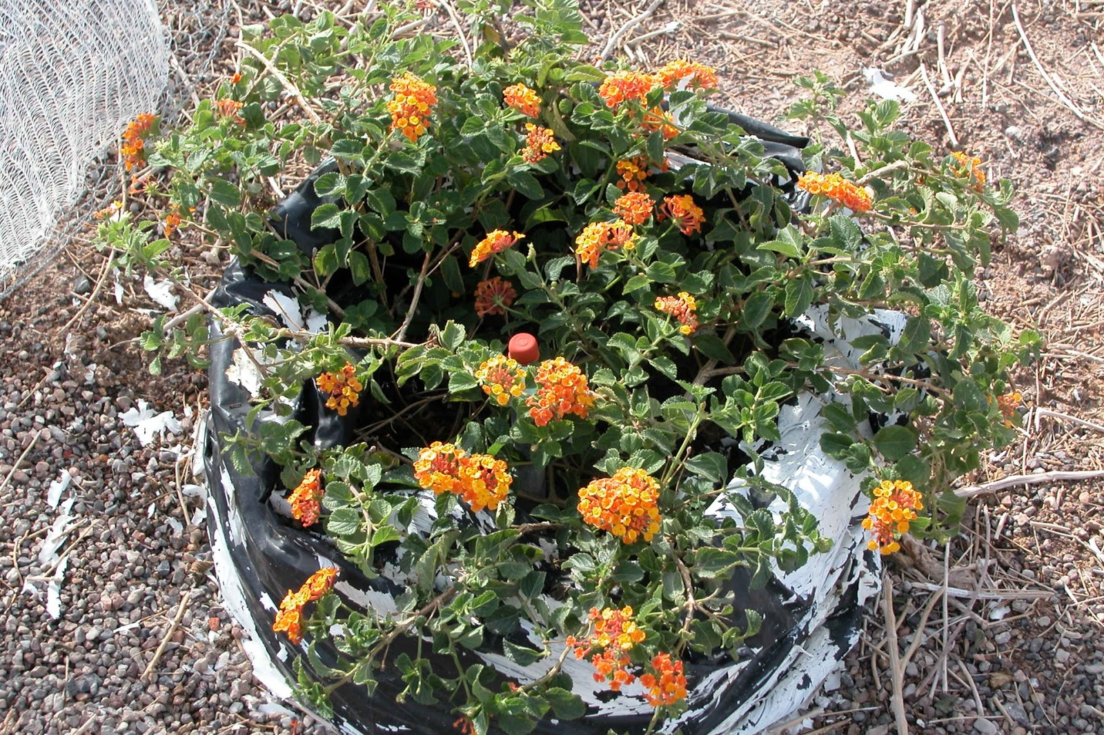 Xtremehorticulture Of The Desert Prune Lantana And Star Jasmine At