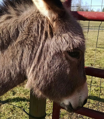 mini-donkey-face-close-up