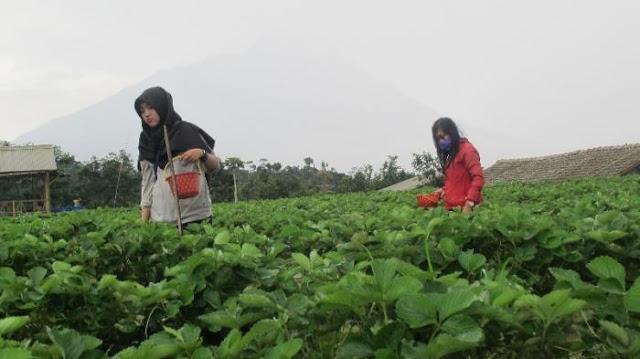 Petik buah di Kebun Inggit Strawberry Magelang