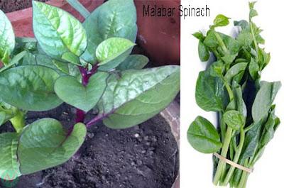 malabar spinach, malabar spinach greens