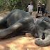 Elefante morre após carregar turistas em meio a um calor de mais de 40 graus