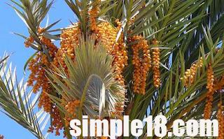شجرة البلح(شجرة النخيل)