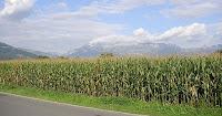 Maizal en Liechtenstein
