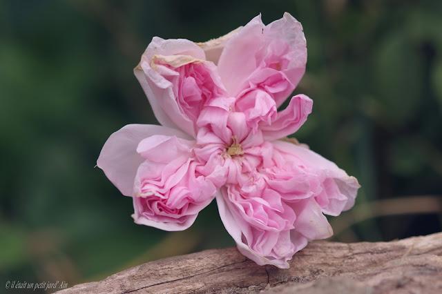 rose de damas parfumée