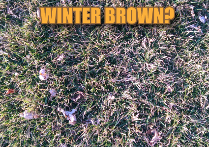 Winter Brown Fescue Lawn