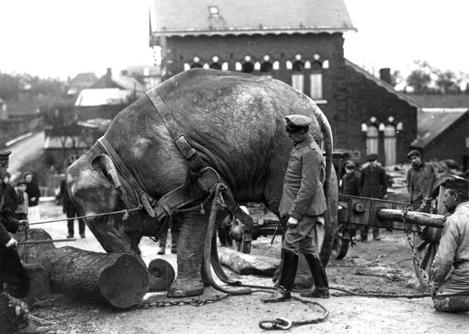 An Indian elephant, from the Hamburg Zoo, used by Germans in Valenciennes, France to help move tree trunks in 1915. As the war dragged on, beasts of burden became scarce in Germany, and some circus and zoo animals were requisitioned for army use.