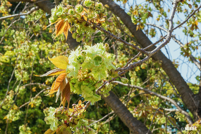 浜離宮恩賜庭園の御衣黄桜