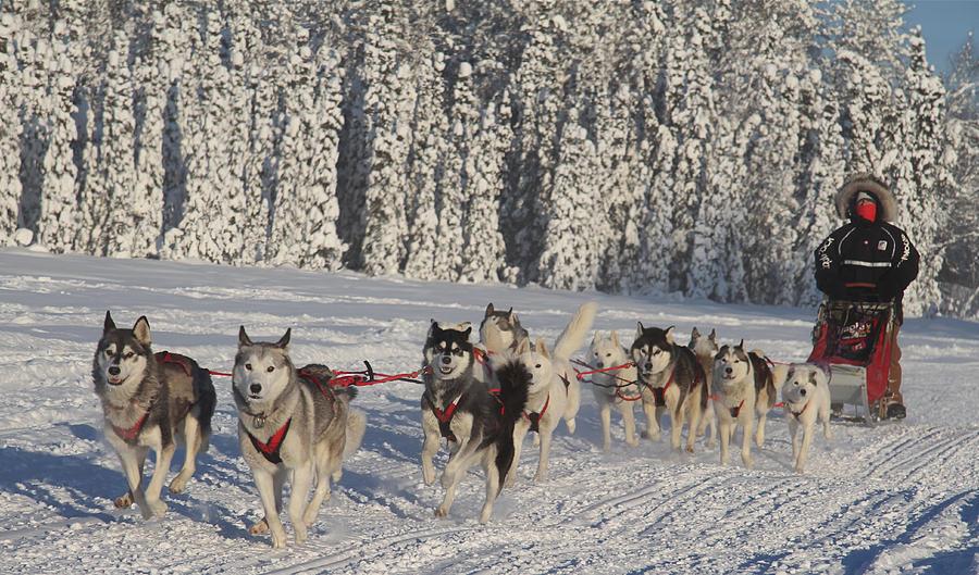 Siberian-Huskies-Iditarod-dog-sled-race