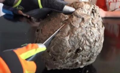 Pria ini membelah sarang tawon sebesar bola volly , isinya di luar dugaan bikin dia terkejut