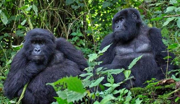 aids virus gorillas cameroon