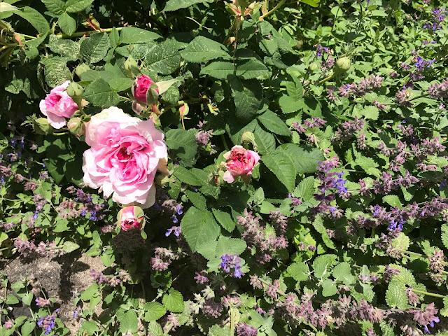 braune, verbrannte Ränder an den Rosenblühten sind bei mir normal (c) by Joachim Wenk