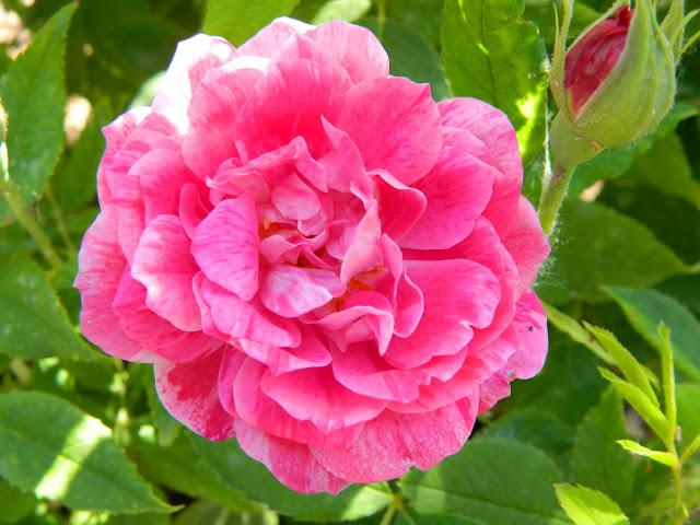 Ruža Ferdinand Pichard
