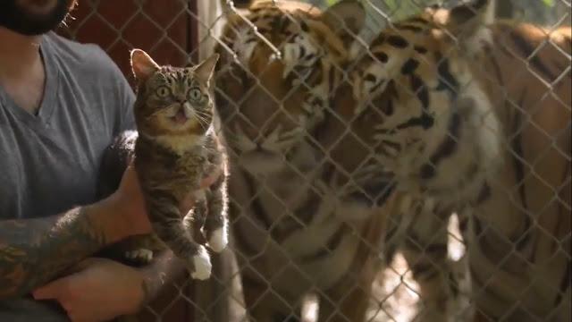 VIDEO Ekspresi Kucing Saat Bertemu Harimau Pertama Kalinya