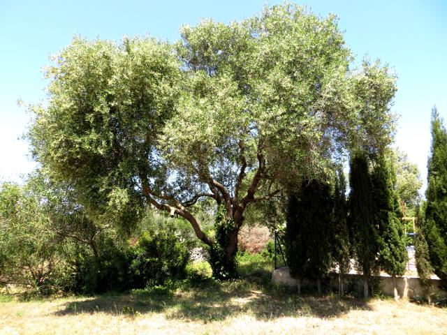Olive tree oliivipuu Mallorca