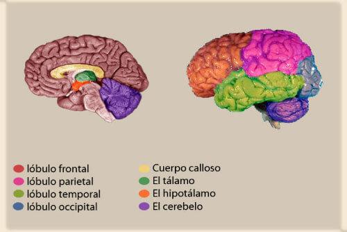 geografía del cerebro