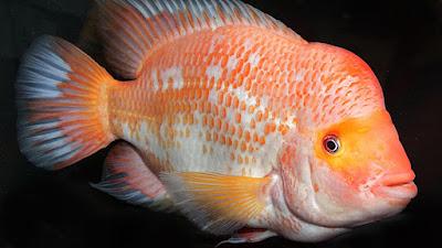 ikan red devil berwarna merah muda dengan spot putih