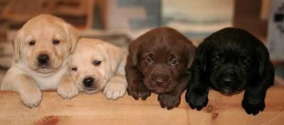 Labrador, perro de casa