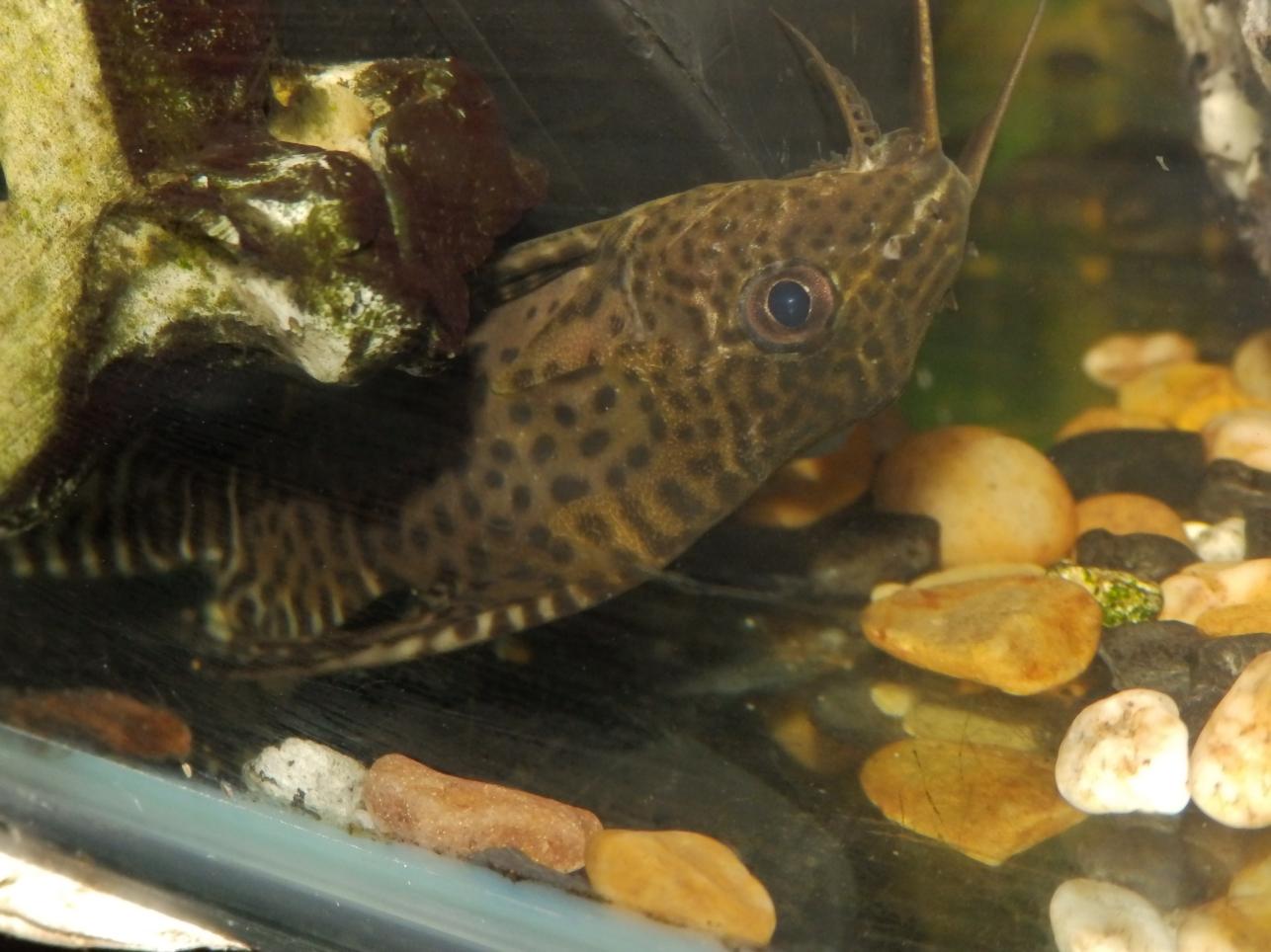 Reptiles Amphibians Amp Fish Synodontis Eurostymus Upsie