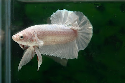 Siamese fighting fish /Betta Fish Care