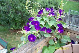 tanaman rambat ungu murah
