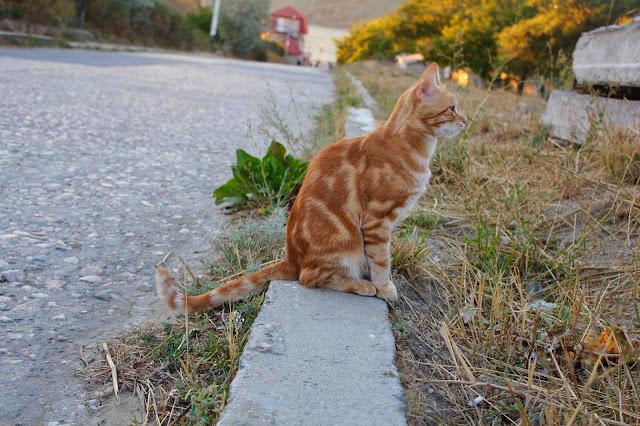 рыжий пятнистый кот
