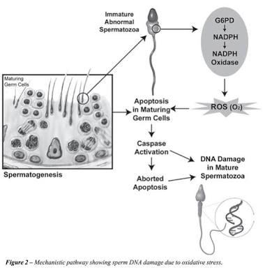 Immature Abnormal Spermatozooa : Immature Grem Cell (lab prodia/prahita), Spermatid (lab pramita), Sel bulat (Lab rumah sakit atau lab lawas). Ini akibat DNA Damage sebab ROS