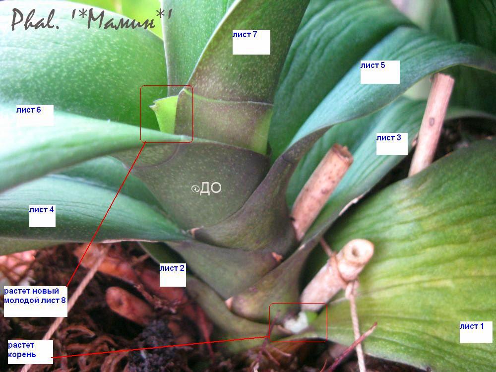 Как победить сосудистое увядание орхидеи