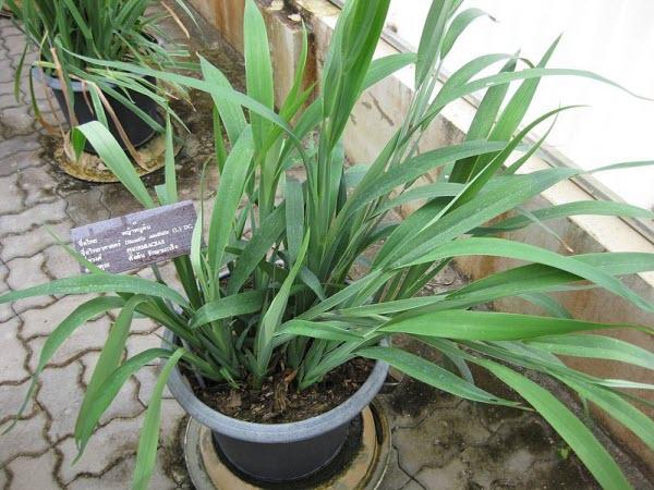Cây Hương Lâu-Dianella Ensifolia-Nguyên liệu làm thuốc Có Chất Độc