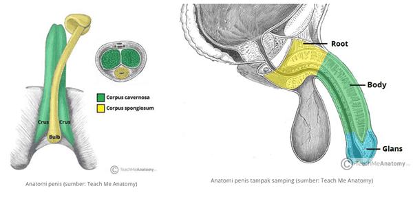 anatomo alat kelamin pria