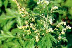 BARU CINA (Artemisia vulgaris L.)