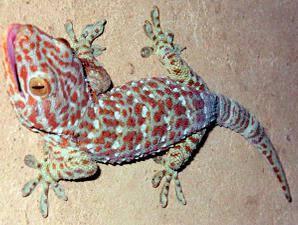 Tokek yaitu binatang reptil yang sanggup dengan gampang kita temui di rumah rumah atau juga di h Ciri-Ciri Tokek