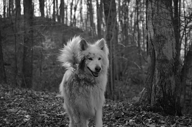 white shepherd in woods