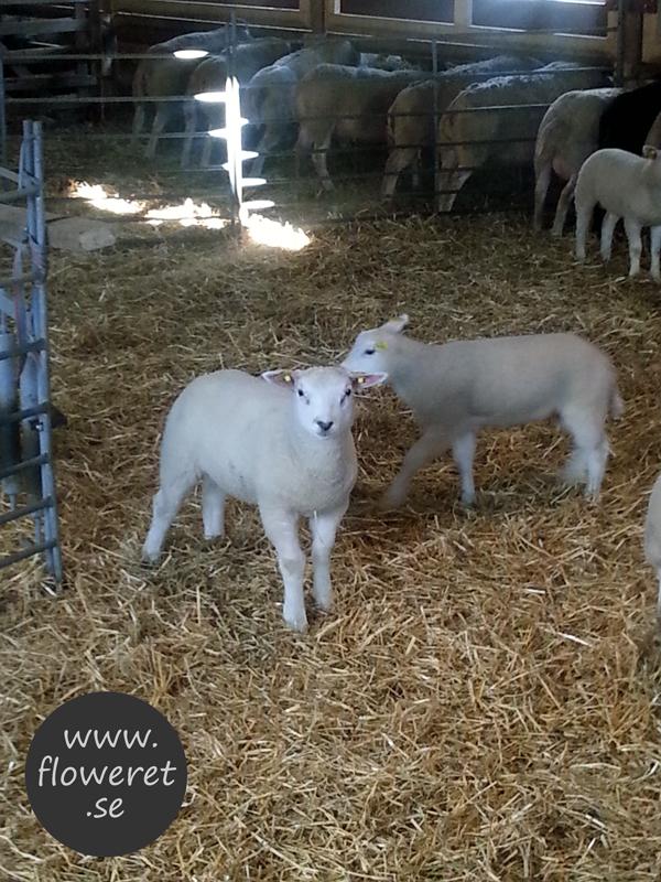 söta lamm i fårhuset