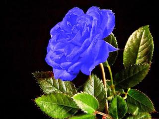 Gambar Bunga Mawar Biru Paling Cantik_Blue Roses Flower 200023