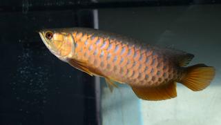 Cara budidaya ikan arwana di tempat akuarium