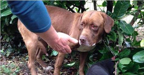 L'horreur pour cette chienne retrouvée près de Mons: voici à quoi elle était attachée
