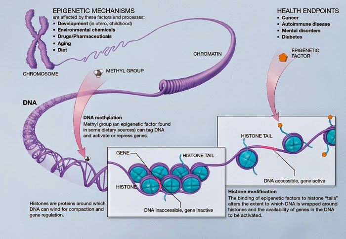 Infographic of epigenetic mechanisms